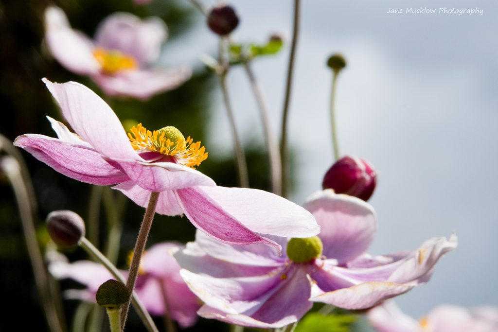 Photograph of pink Japanese anemone flowers, by Jane Mucklow