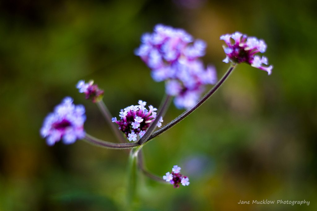 Photograph of verbena bonariensis flowers, by Jane Mucklow