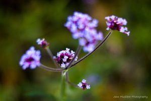 Photograph of verbena bonariensis flowers, by Jane Mucklow