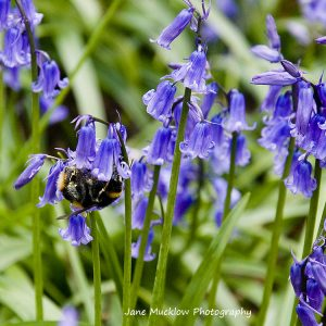 Photo of a bumblebee and bluebells, by Jane Mucklow