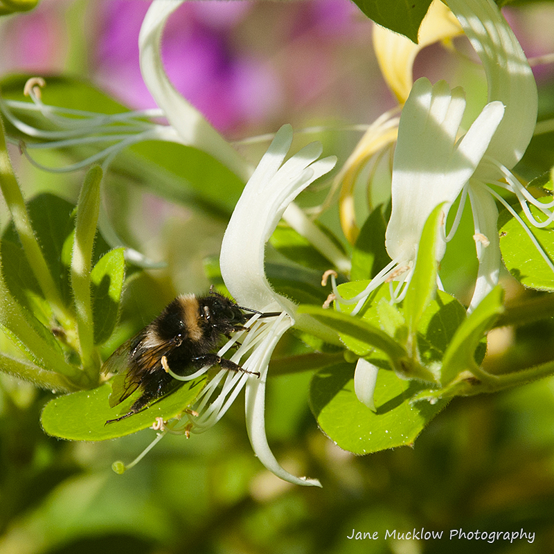 Photo of a bee in a honeysuckle flower, by Jane Mucklow