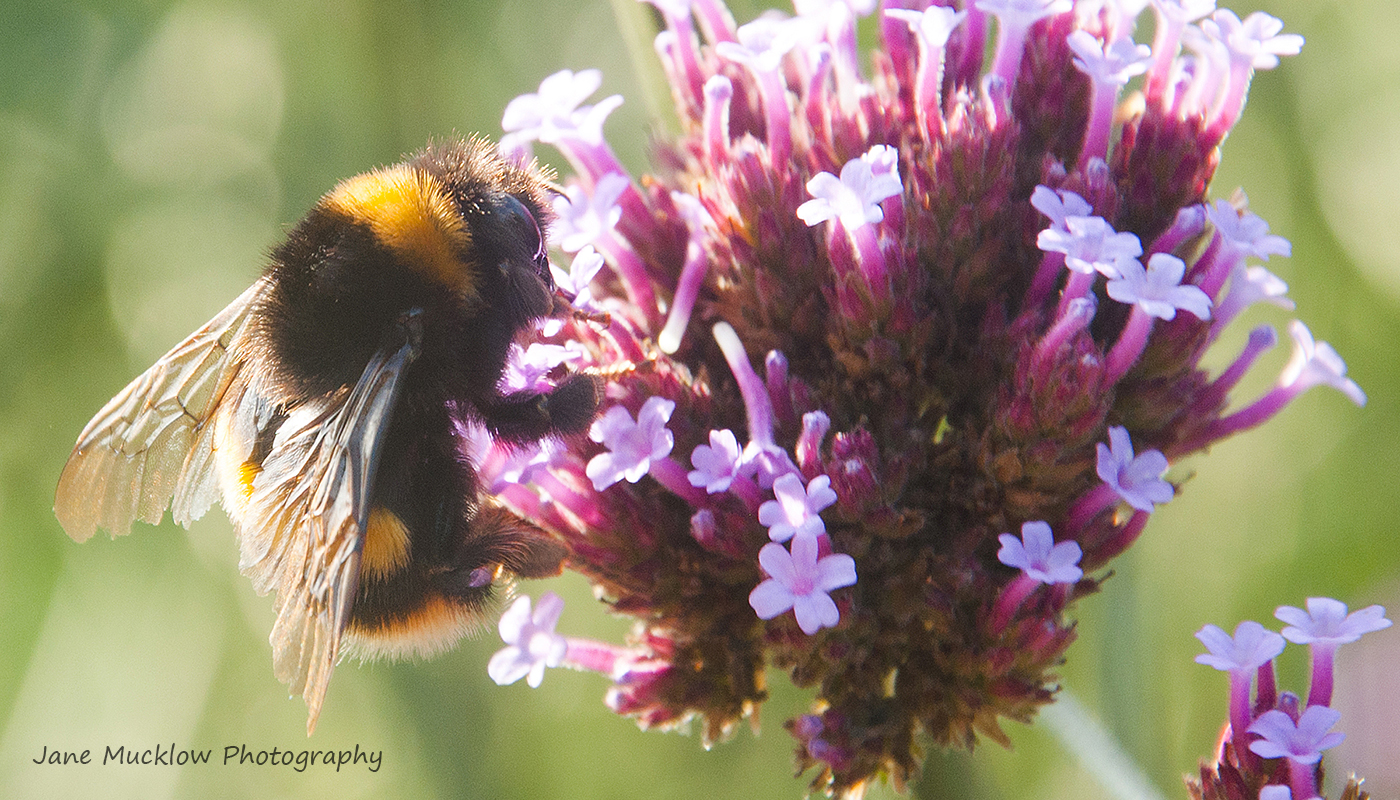 Photo of a bee on a verbena bonariensis flower by Jane Mucklow