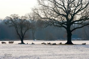 Photograph of a snowy sheep field, Sevenoaks, by Jane Mucklow