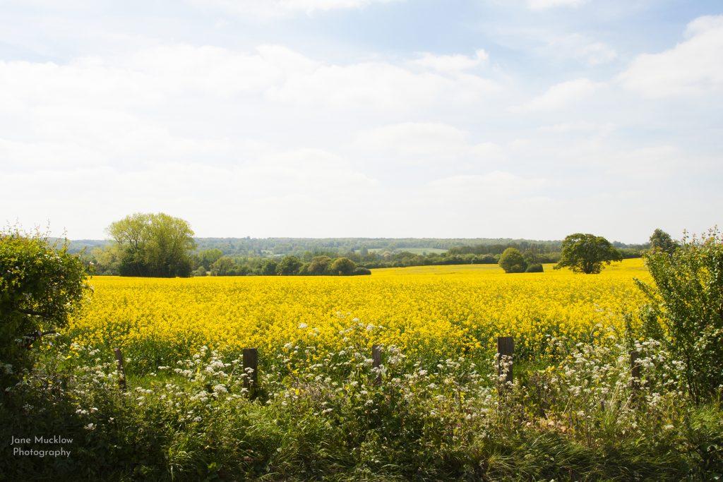 Photograph of oil seed rape fields near Sevenoaks, by Jane Mucklow
