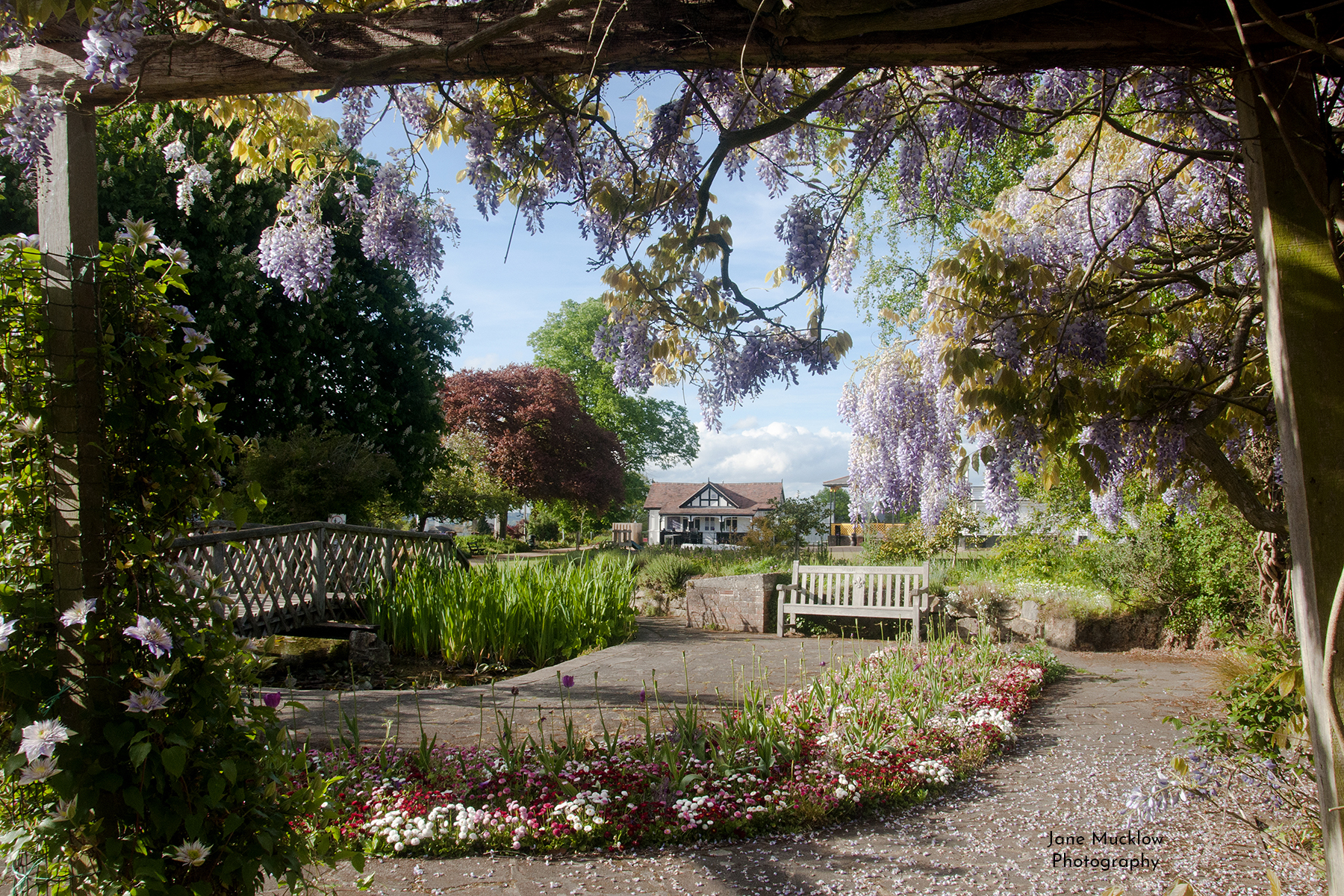 Photograph of the Vine Gardens, Sevenoaks, with wisteria, by Jane Mucklow