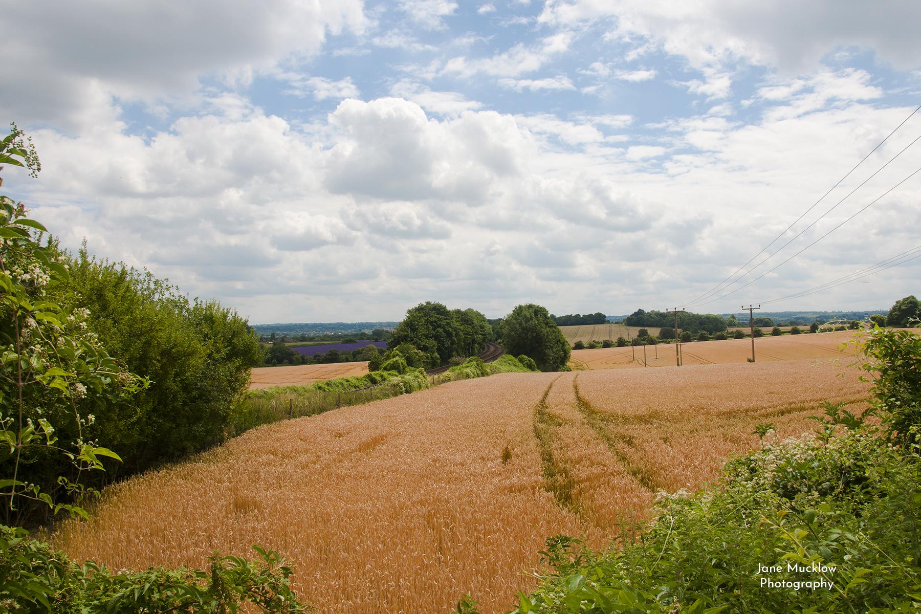 Photograph of summer fields near Sevenoaks, by Jane Mucklow