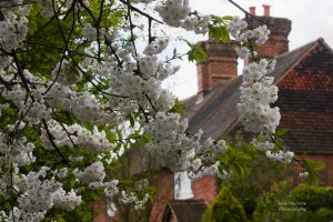 Cherry Blossom in Shoreham, photo by Jane Mucklow