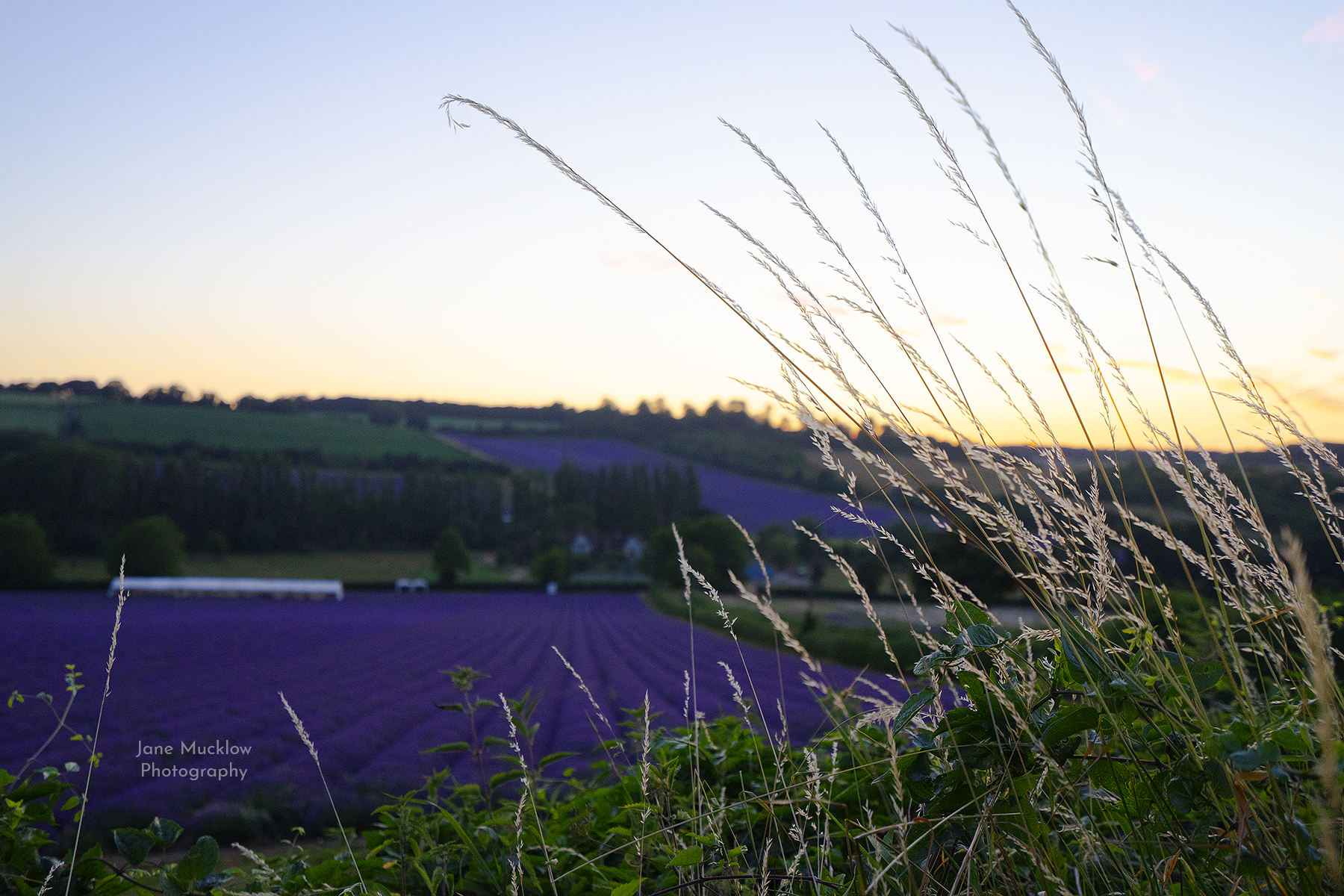 Sunset over the lavender fields, Castle Farm at Shoreham, photo by Jane Mucklow