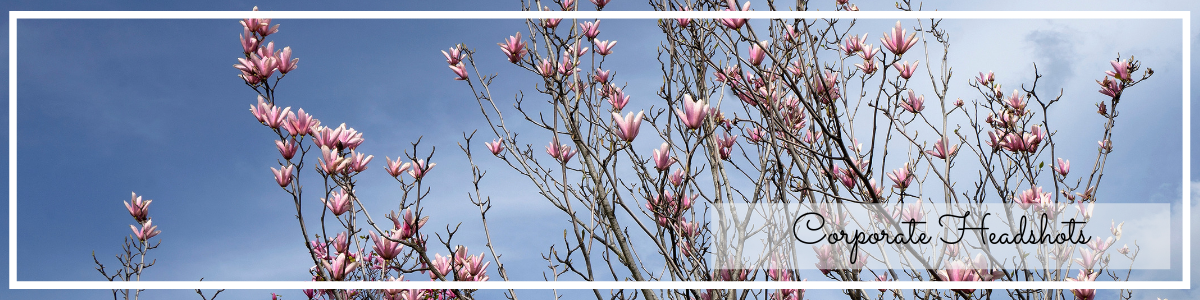 website page banner for corporate headshot photography, magnolia on blue sky photo by Jane Mucklow
