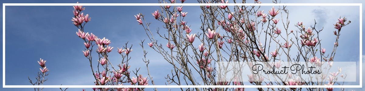 website page banner for product photography, magnolia on blue sky photo by Jane Mucklow
