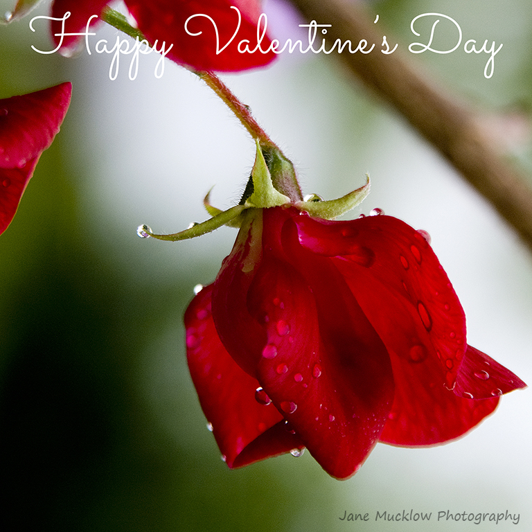Photo of a red sweet pea by Jane Mucklow, Valentine's card design