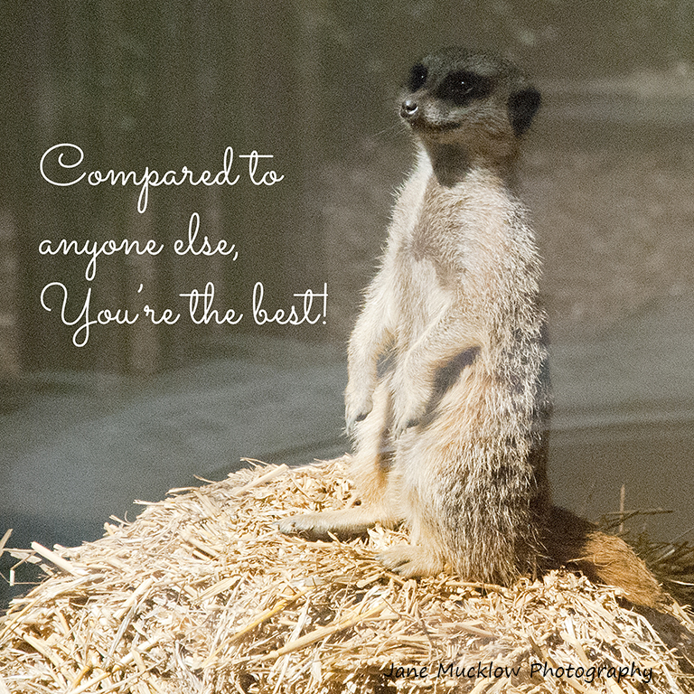Photo of a meerkat by Jane Mucklow, Valentine's card design