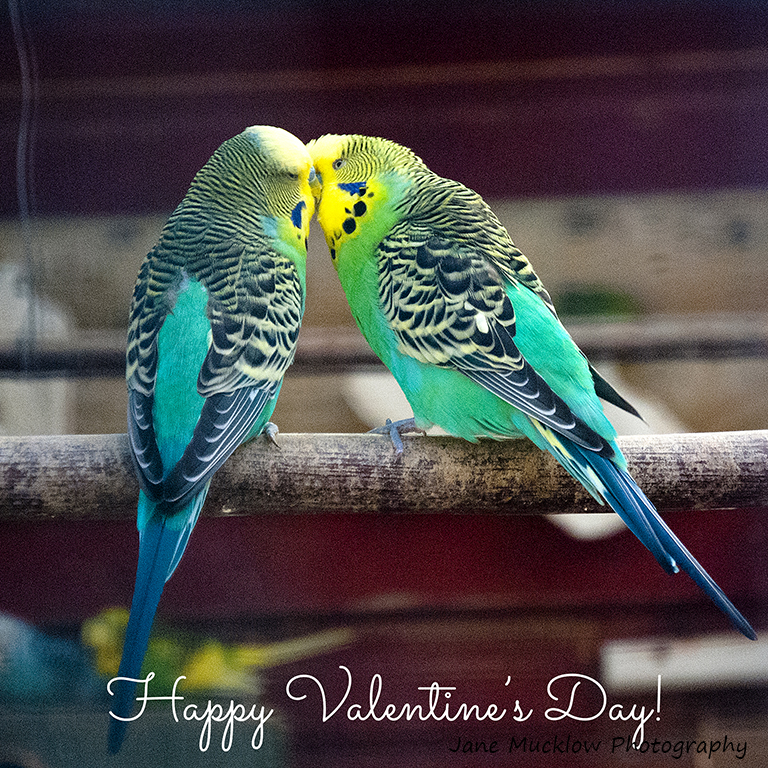 Photo of a pair of lovebirds kissing, Valentine's card design by Jane Mucklow