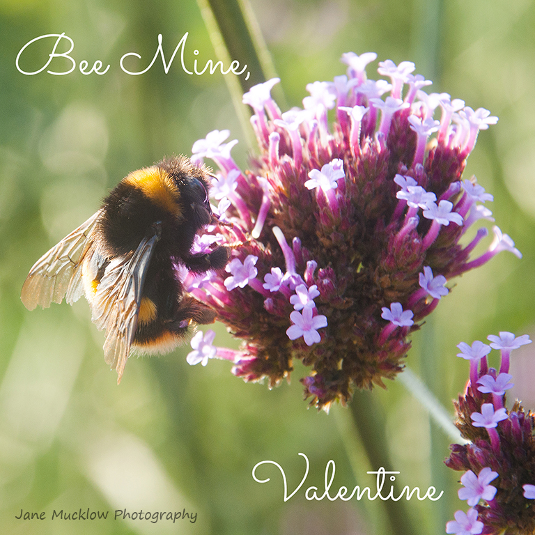 Photo of a bee and verbena flower by Jane Mucklow, Valentine's card design