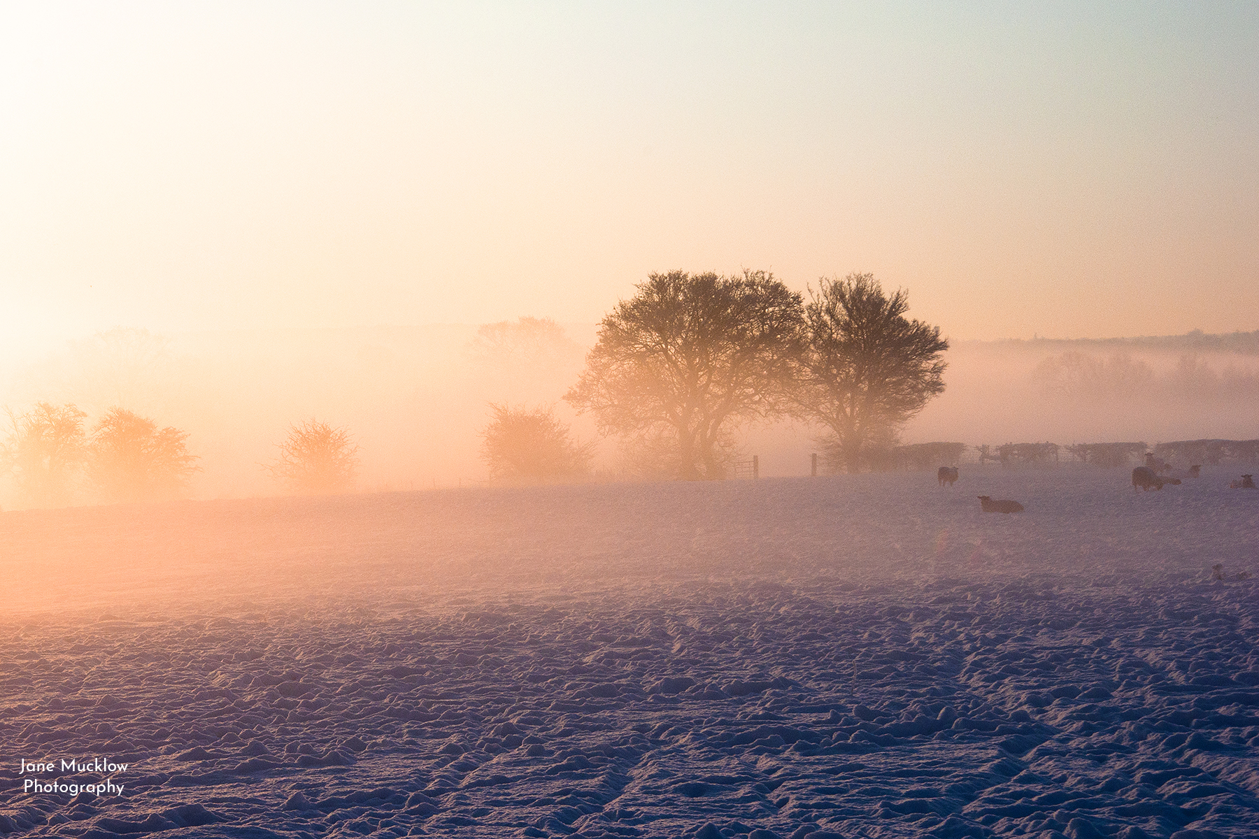 Photograph by Jane Mucklow of a snowy sunrise over a sheep field and trees