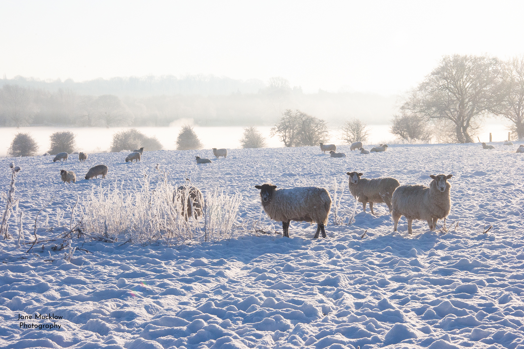 Photograph by Jane Mucklow of a snowy sunrise over a sheep field, the view towards Sevenoaks, Kent