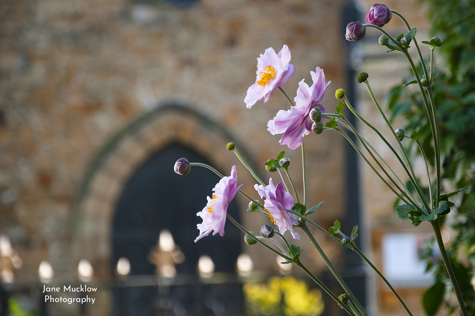 Photo of Japanese Anemones at Tonbridge Parish Church, by Jane Mucklow