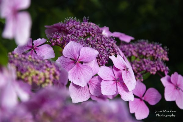 Photograph of a pink hydrangea by Jane Mucklow