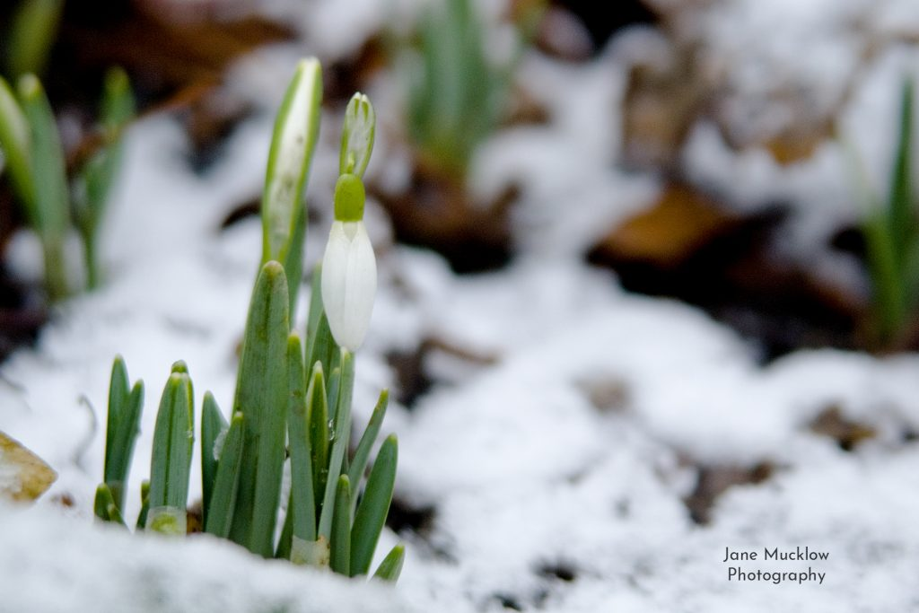 Photo of snowdrops in the snow, by Jane Mucklow