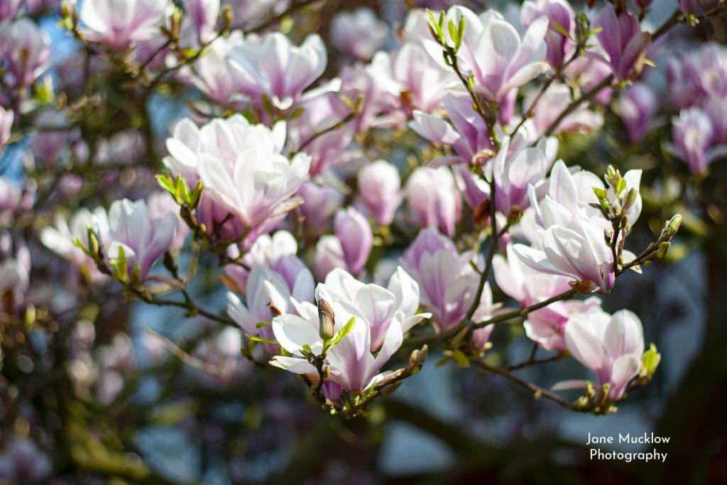 Photo of magnolia blossom, by Jane Mucklow