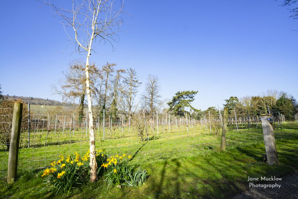 Photo of the Mount Vineyard, with daffodils,, by Jane Mucklow