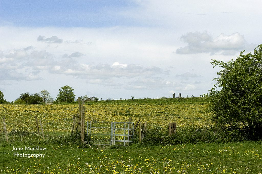 Photo of dandelion fields near Otford, by Jane Mucklow