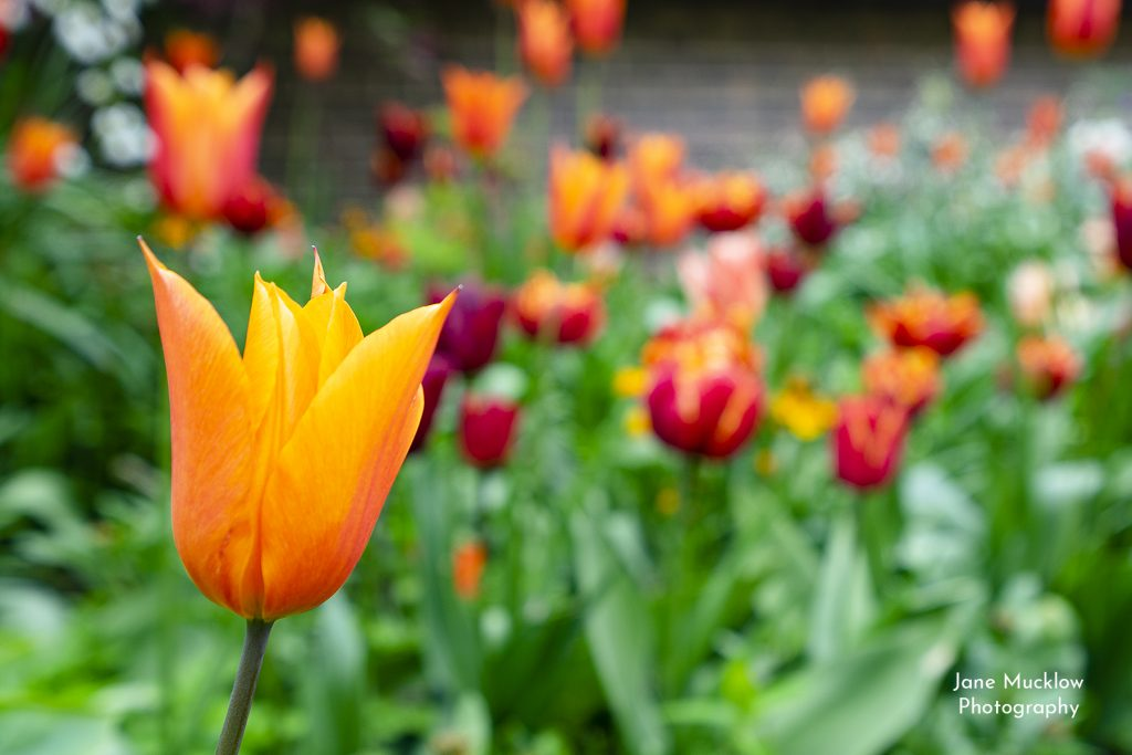 Photo of orange tulips, by Jane Mucklow