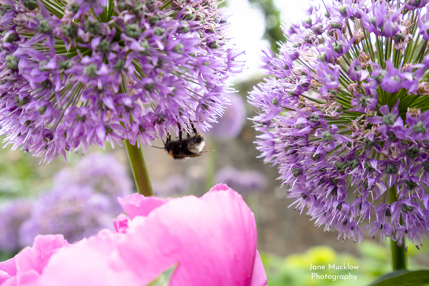 Photo of alliums and peonies, by Jane Mucklow