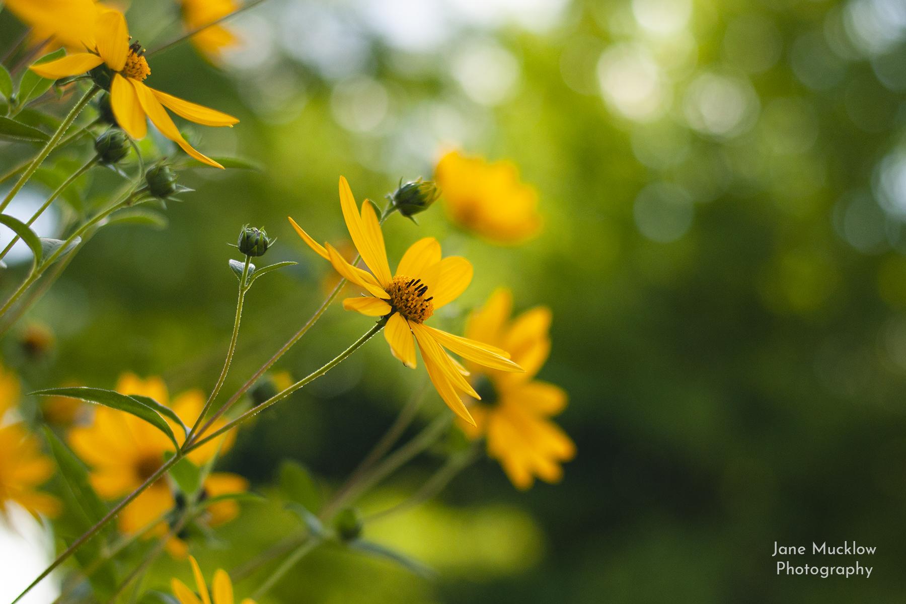 Photo of yellow mini sunflowers, by Jane Mucklow