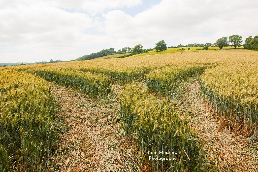 Photo of Autumn wheat fields near Shoreham by Jane Mucklow