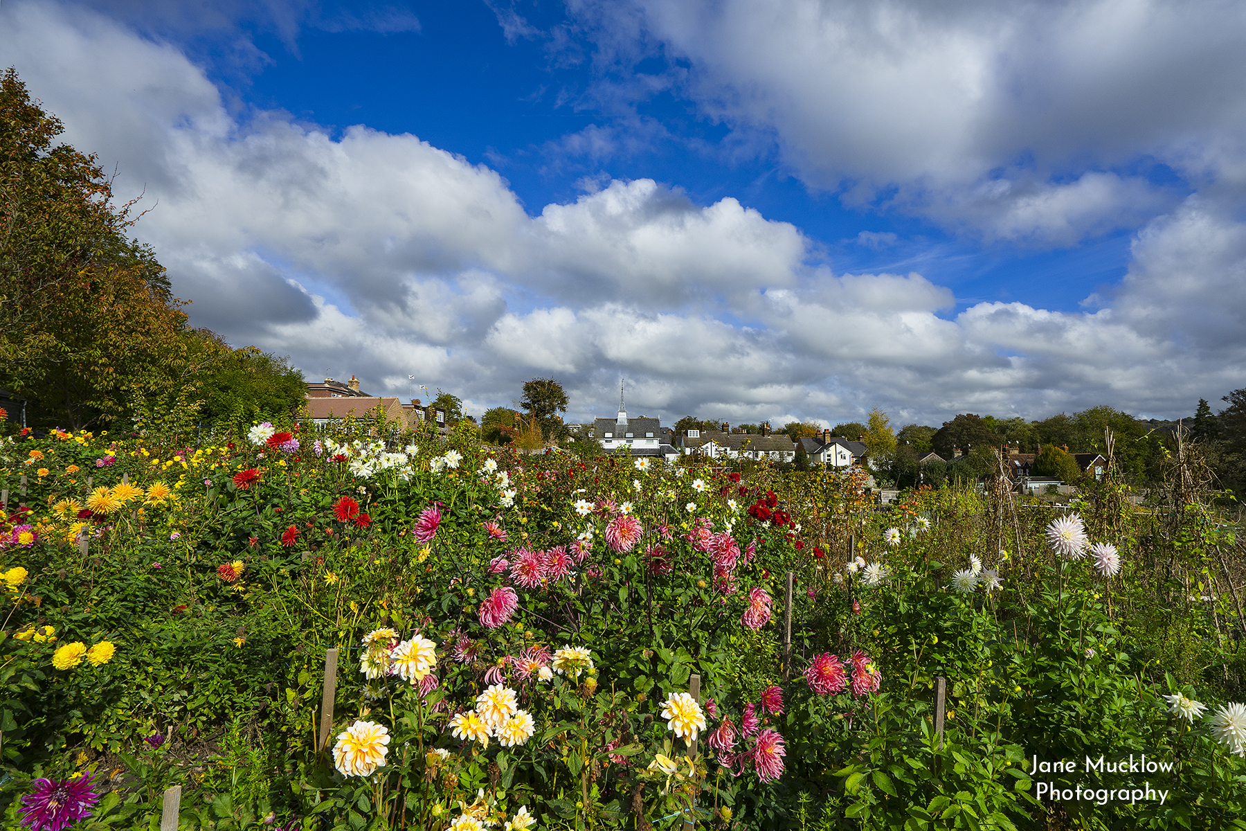 Photo of Shoreham Allotments with dahlias, by Jane Mucklow