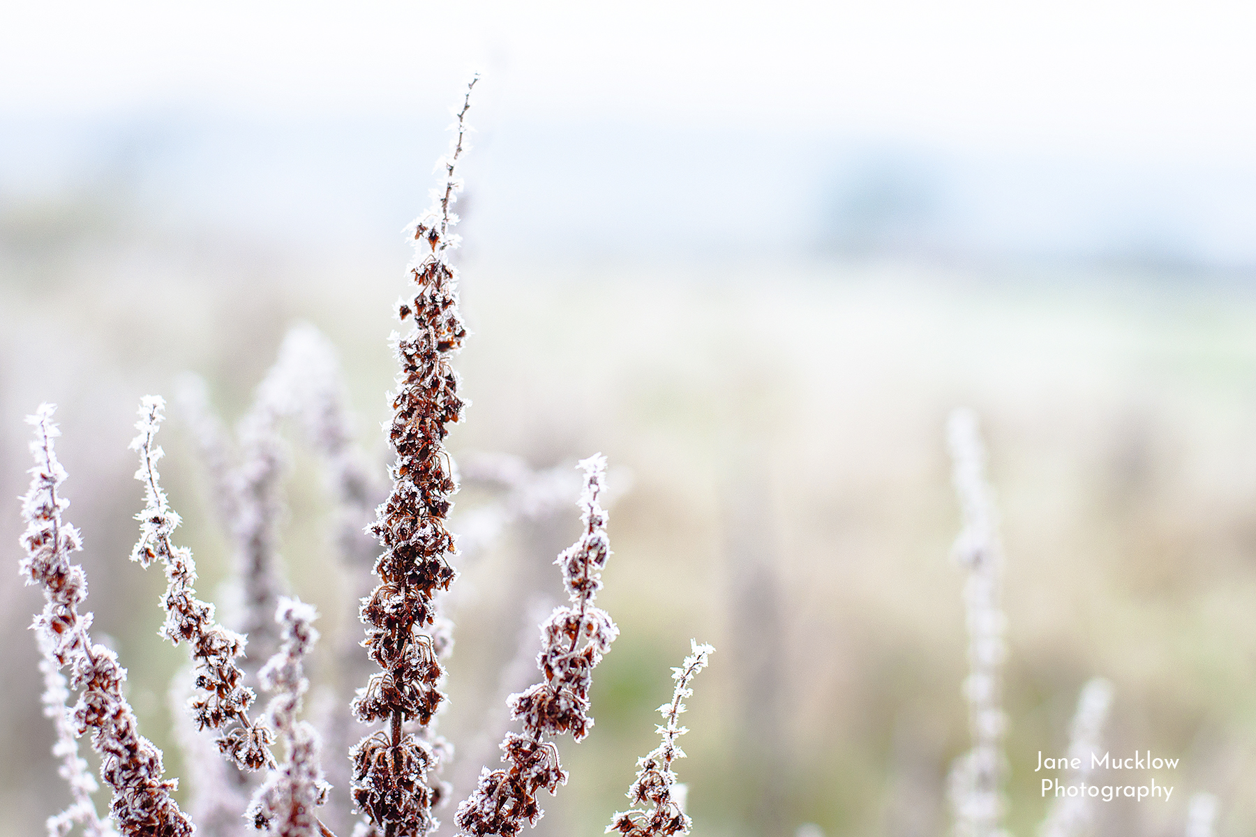 Photo of wild grass flowers, in heavy frost, by Jane Mucklow