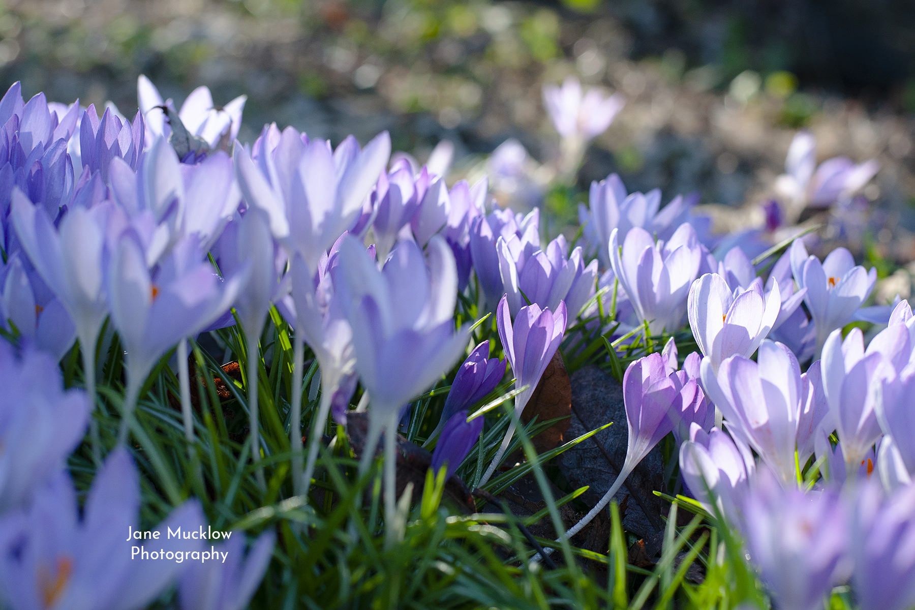 Photo of purple crocus in sunshine, by Jane Mucklow