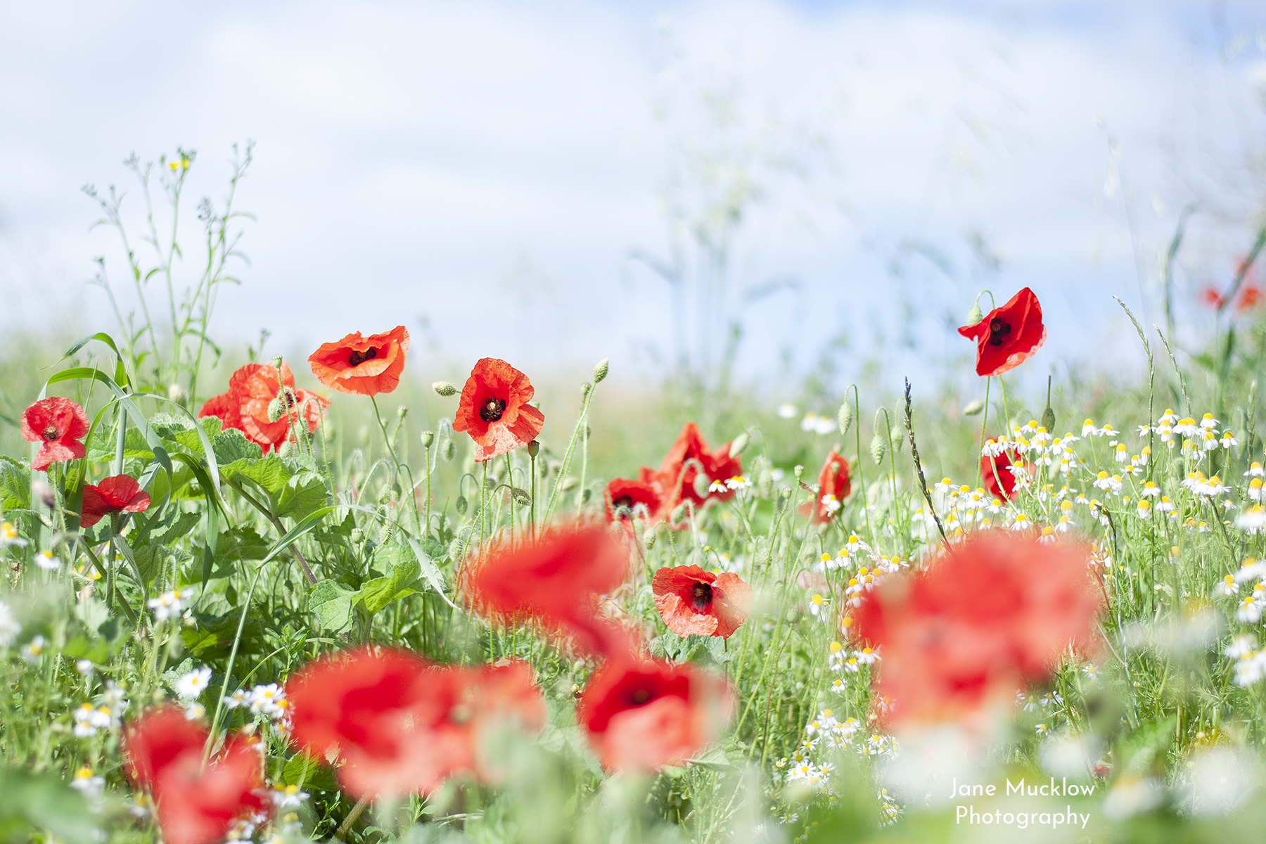 Photo of poppies and wild chamomile flowers, by Jane Mucklow