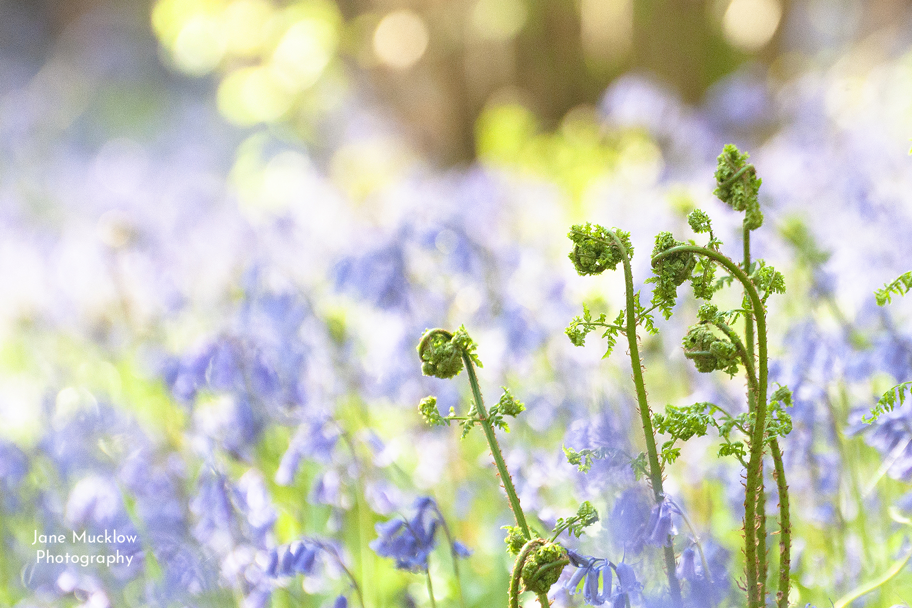 Photo of baby bracken leaves and bluebells, by Jane Mucklow