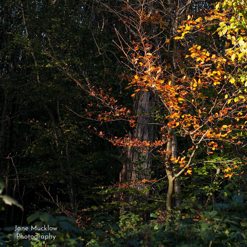 Photo by Jane Mucklow of sunlit autumn leaves at Toys Hill, Kent