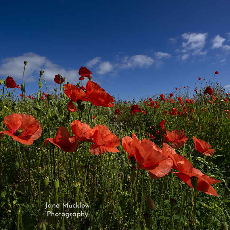 Photo of poppies, blue sky, near Otford Kent, by Jane Mucklow