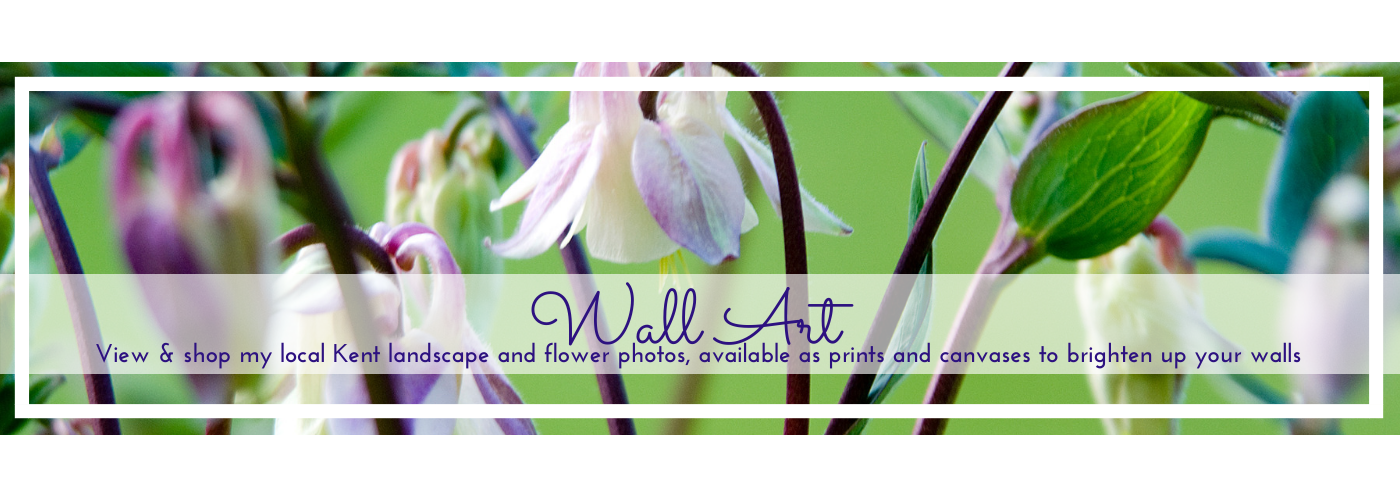 Photo of aquilegia flowers by Jane Mucklow, website image for Wall Art page