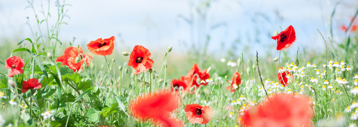 Photo by Jane Mucklow of a field of poppies and chamomile, Kent