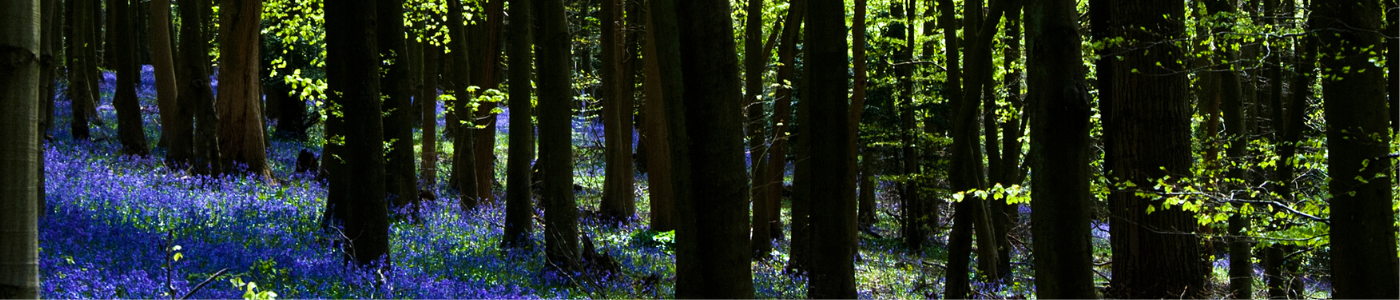 Photo of bluebells and spring trees in Shoreham woods, Kent, by Jane Mucklow