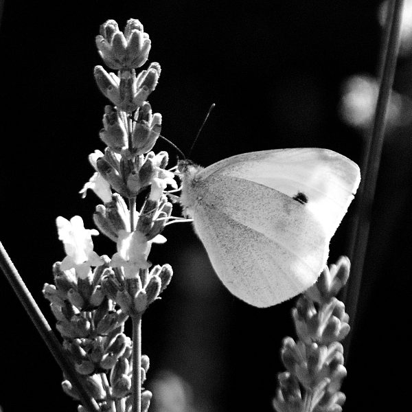 Black and white photograph of a butterfly and lavender by Jane Mucklow