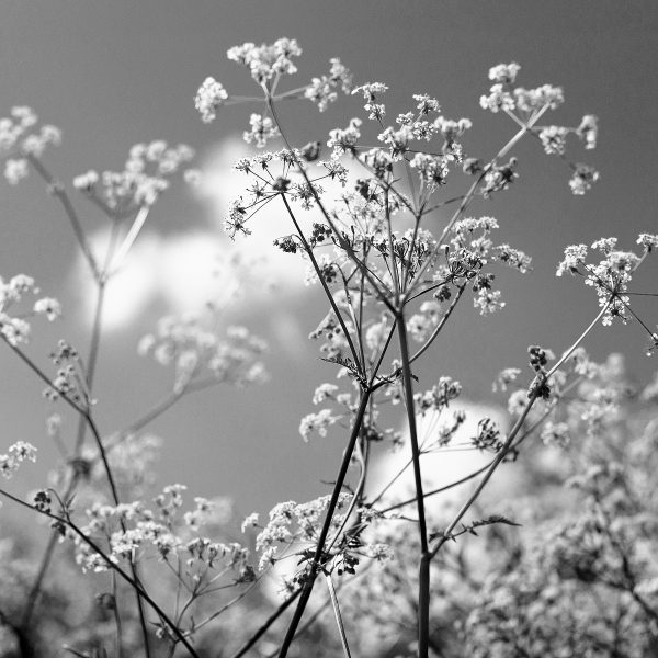 Black and white photograph of cow parsley by Jane Mucklow
