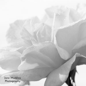 Black and white photograph of a rose by Jane Mucklow