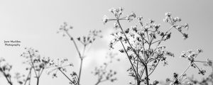 Black and white photograph by Jane Mucklow of cow parsley.