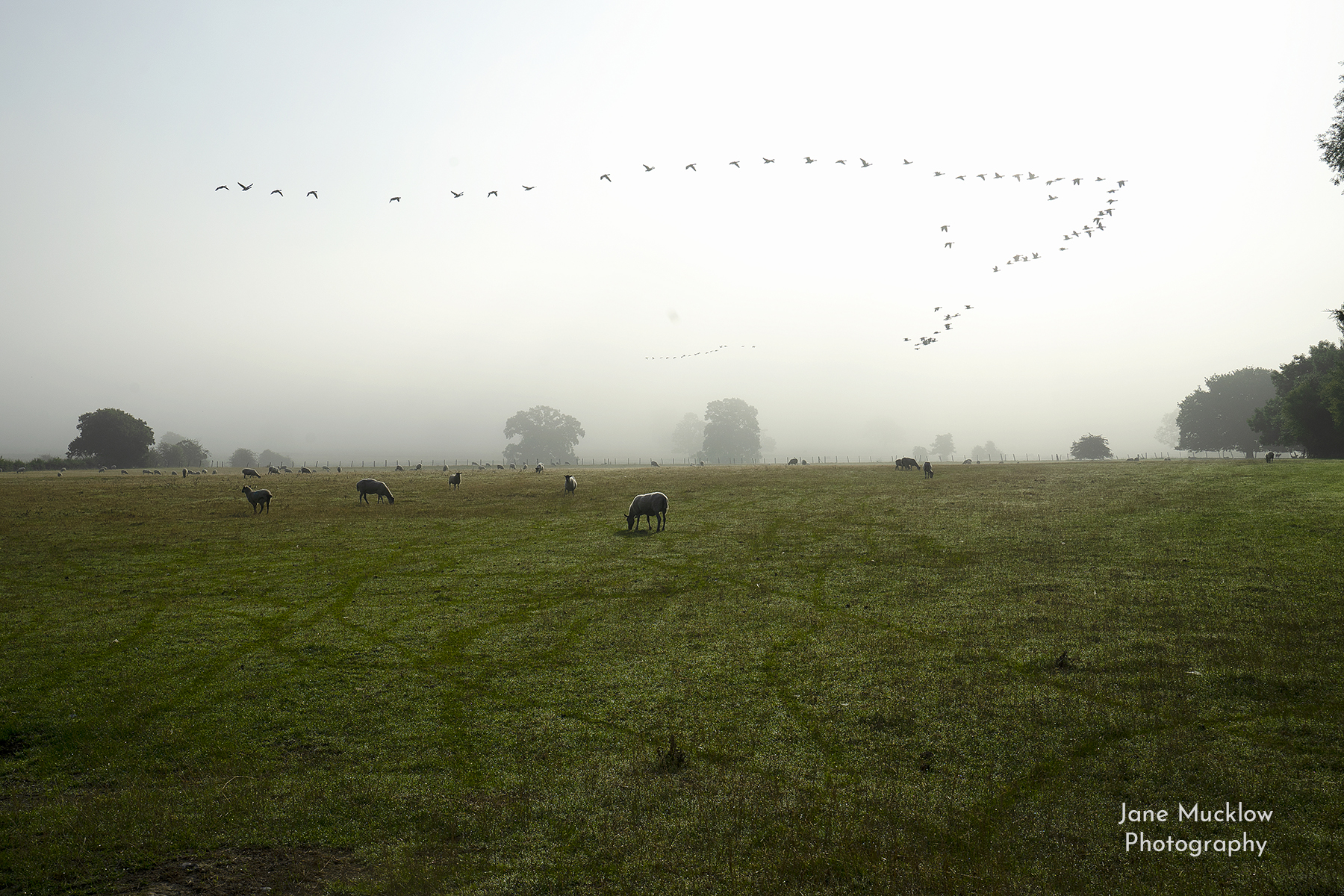 Photograph by Jane Mucklow of geese flying over Otford sheep fields on a misty morning
