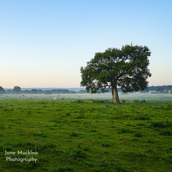 Photograph by Jane Mucklow of a lone tree and misty sunrise, Otford, Kent, UK