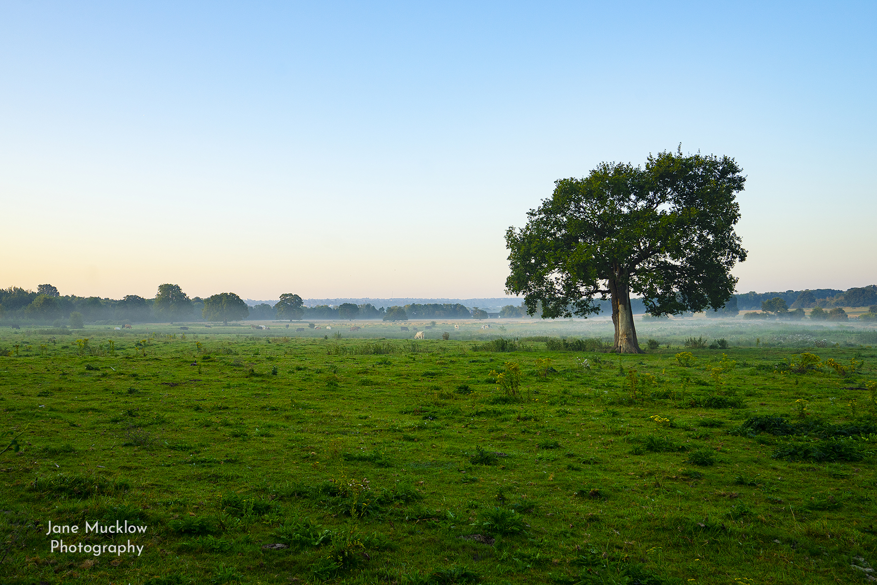 Photograph by Jane Mucklow of the Lone Tree with a misty sunrise, view fromOtford towards Sevenoaks, Kent.