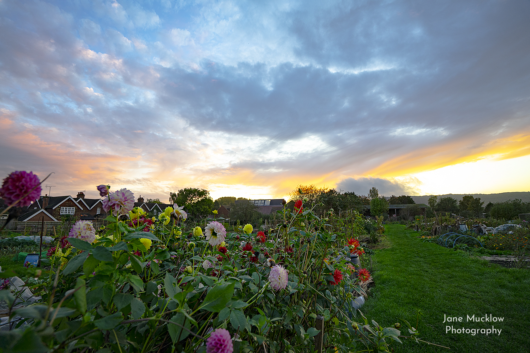 Photograph of the dahlias at Otford Allotments, at sunrise