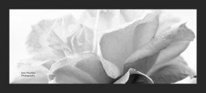Black and white photograph of a rose by Jane Mucklow, with a dark grey border