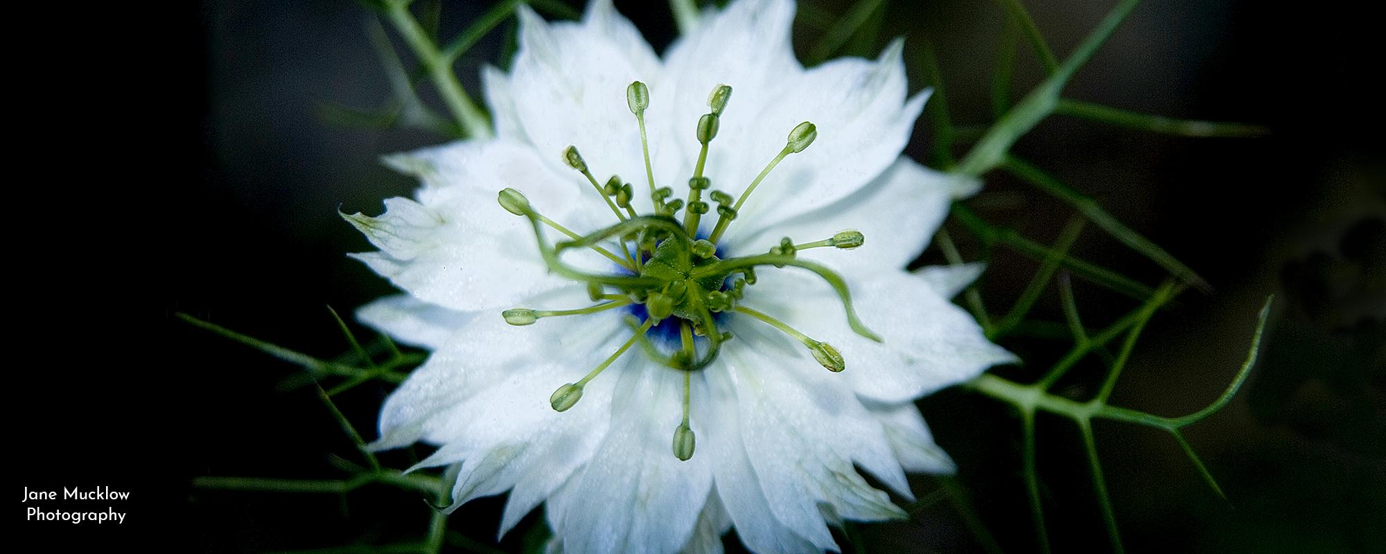Photo by Jane Mucklow of a white Nigella, Love in a Mist flower